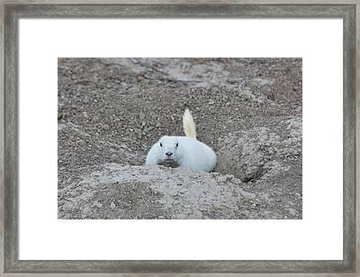 White-tailed Prairie Dog Cynomys Framed Print
