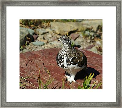 Framed Print featuring the photograph White-tailed Ptarmigan by Sue Smith