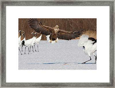 White-tailed Sea Eagle And Japanese Framed Print