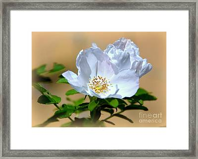 White Tea Rose Framed Print