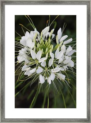 White Tenderness Framed Print by Christiane Schulze Art And Photography