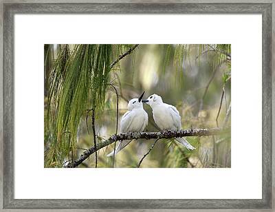 White Terns (gygis Alba Rothschildi Framed Print by Daisy Gilardini
