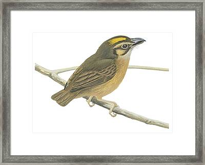 White Throated Spadebill Framed Print by Anonymous