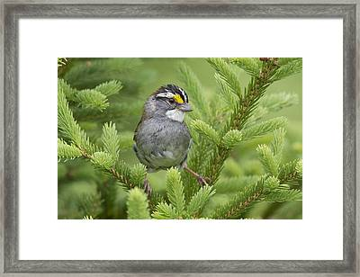 White-throated Sparrow Male In Breeding Framed Print