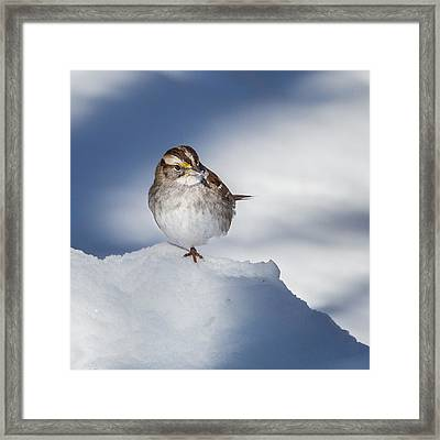 White Throated Sparrow Square Framed Print by Bill Wakeley