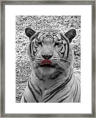 White Tiger Lick Framed Print by Suzy Piatt