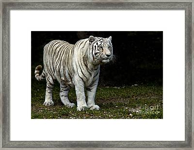 White Tiger Framed Print by Mark Newman