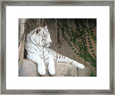 White Tiger Resting Framed Print