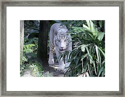 Framed Print featuring the photograph White Tiger  by Shoal Hollingsworth