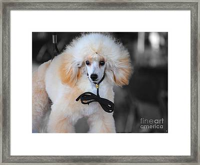 White Toy Poodle Framed Print