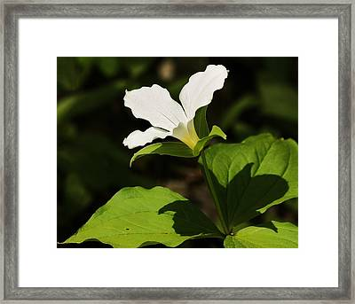 Framed Print featuring the photograph White Trillium by Al Fritz