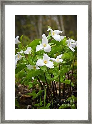 White Trillium Framed Print by Elena Elisseeva