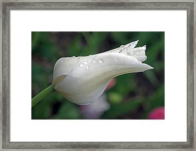 White Tulip Framed Print by Cheryl Cencich
