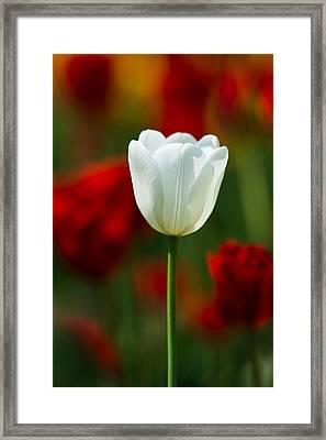 White Tulip - Featured 3 Framed Print by Alexander Senin