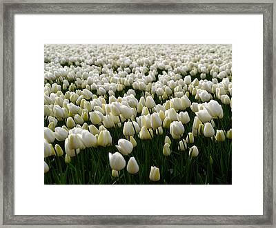 White Tulip Field  Framed Print