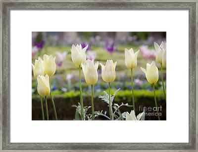 White Tulips In Parisian Garden Framed Print by Brian Jannsen