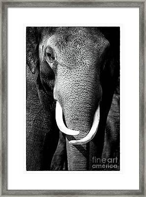 White Tusks Framed Print