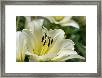 White Velvet - Featured 3 Framed Print by Alexander Senin