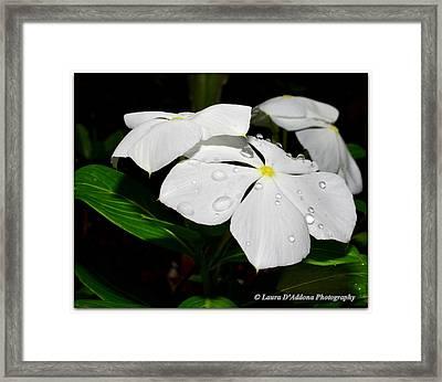 White Vincas Framed Print by Laura DAddona