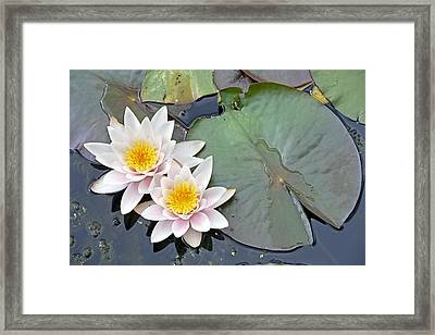 White Water Lilies Netherlands Framed Print