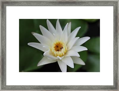 White Water Lotus  Framed Print