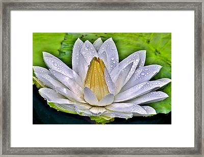 White Water Lily After The Shower - Longwood Gardens Framed Print