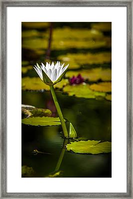White Water Lily Framed Print by Julio Solar
