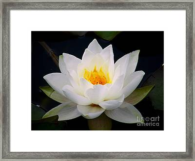 White Water Lily Framed Print by Nina Ficur Feenan