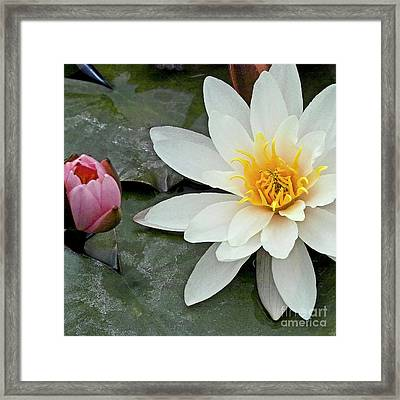 White Water Lily Nymphaea Framed Print by Heiko Koehrer-Wagner