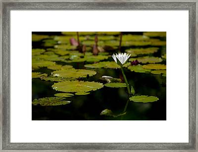 White Water Lily Uncropped Framed Print by Julio Solar