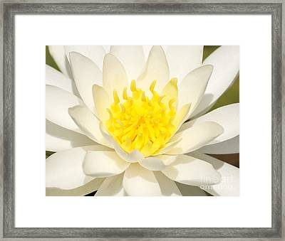 Framed Print featuring the photograph White Waterlily by Olivia Hardwicke
