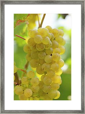 White Wine Grapes On The Vine Framed Print