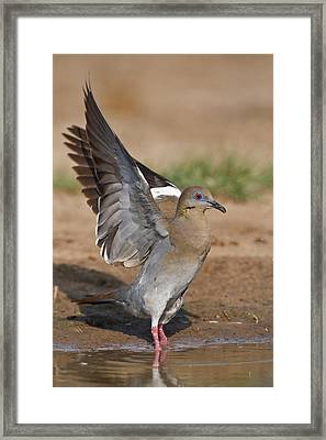 White-winged Dove (zenaida Asiatica Framed Print