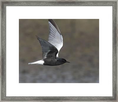 White-winged Tern Framed Print