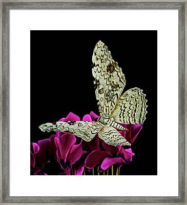 White Witch Moth Resting At Midnight  Framed Print by Leslie Crotty