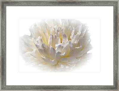 White Peony With A Dash Of Yellow Framed Print
