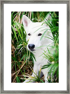 Framed Print featuring the photograph White Wolf by Erika Weber
