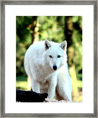 White Wolf Framed Print by Nick Gustafson