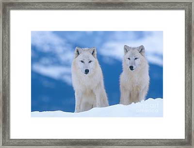 White Wolf Pair In Winter Framed Print by Alan and Sandy Carey