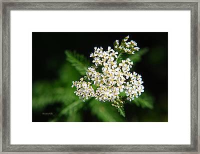 White Yarrow Flower Framed Print by Christina Rollo