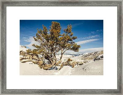 Whitebark Pine Pinus Albicaulis Framed Print
