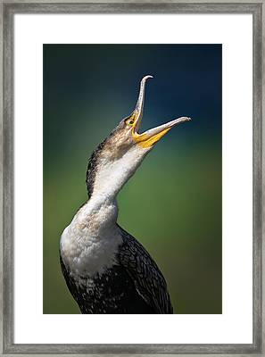 Whitebreasted Cormorant Framed Print by Johan Swanepoel