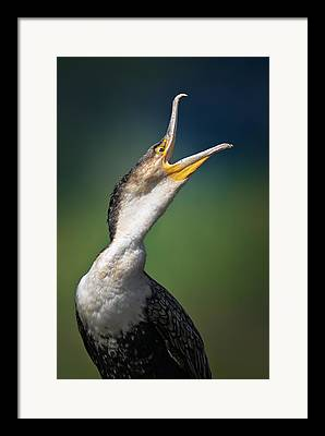 Cormorants Framed Prints