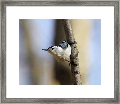 Whitebreasted Nuthatch Framed Print
