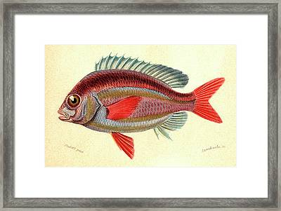 Whitecheek Monocle Bream Framed Print by Collection Abecasis