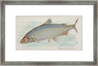 Whitefish, From The Fish From American Framed Print by Issued by Allen & Ginter