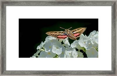 Whitelined Sphinx Moth - Hawk-moth - Hummingbird Moth Framed Print