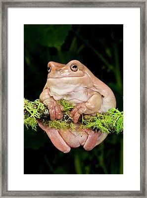 White's Treefrog, Litoria Caerulea Framed Print by David Northcott