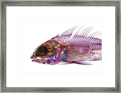 Whitespotted Greenling Framed Print by Adam Summers