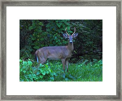 Whitetail Buck 029 Framed Print by Chris Mercer